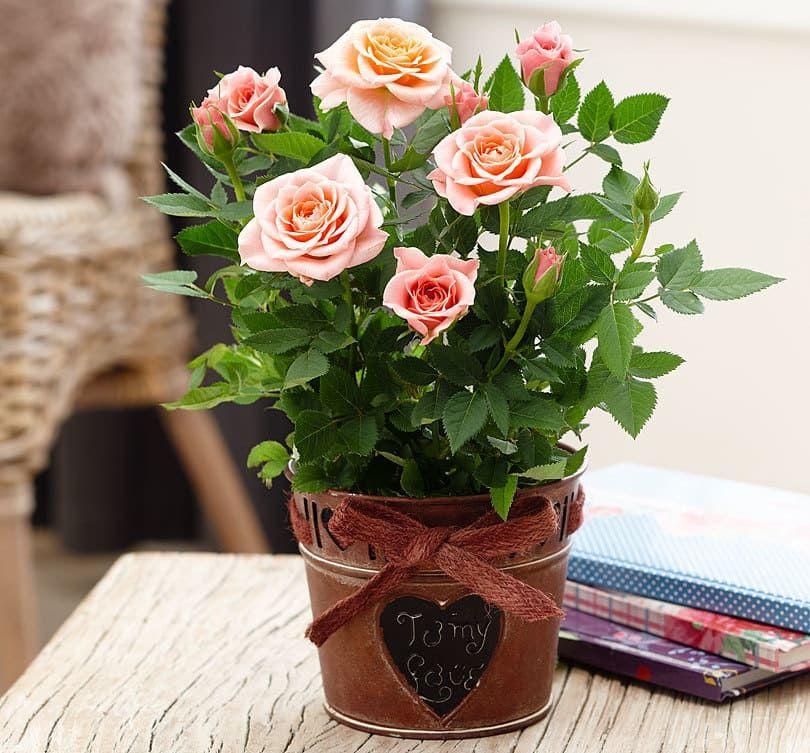Розы в горшке картинка